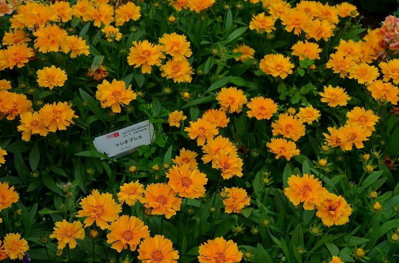 京都植物園花壇の花2013_e0237645_1535643.jpg