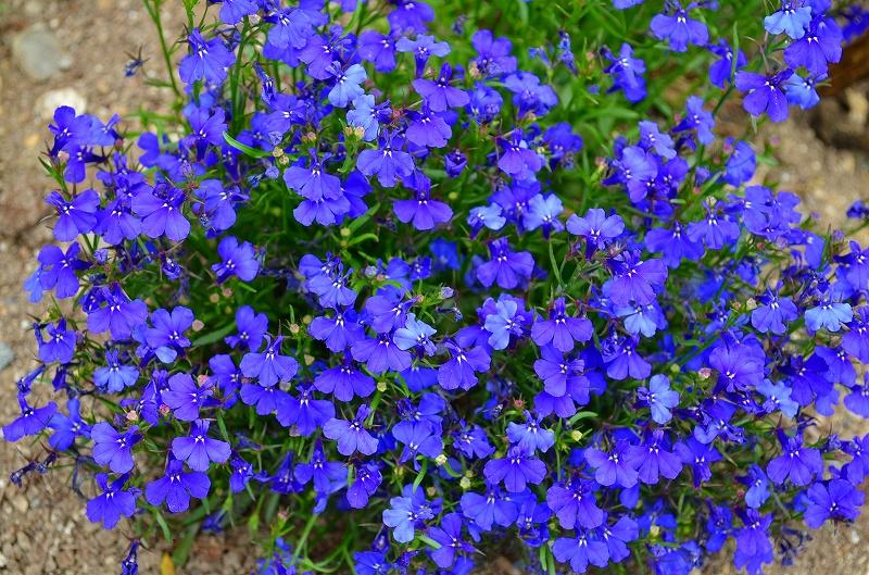 京都植物園花壇の花2013_e0237645_1545365.jpg
