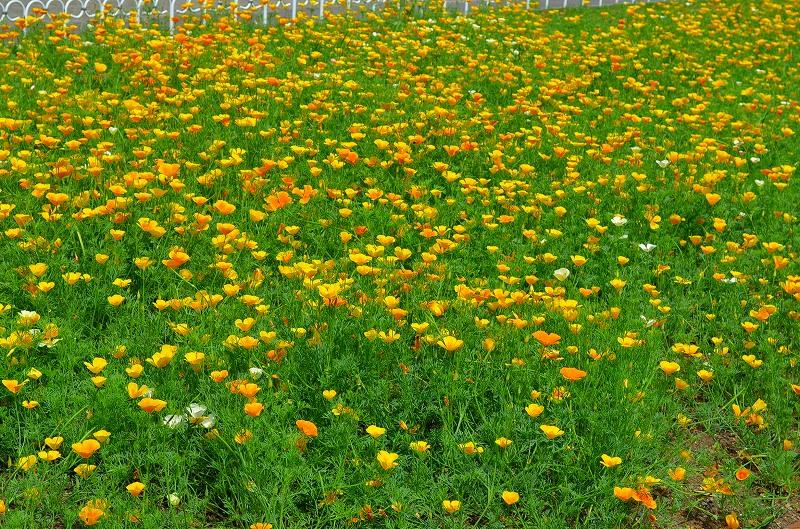 京都植物園花壇の花2013_e0237645_1584255.jpg