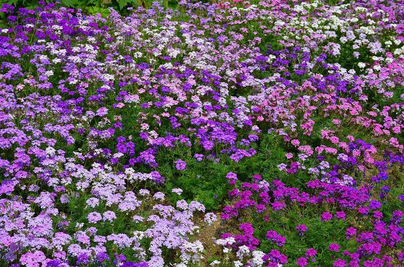 京都植物園花壇の花2013_e0237645_1585662.jpg