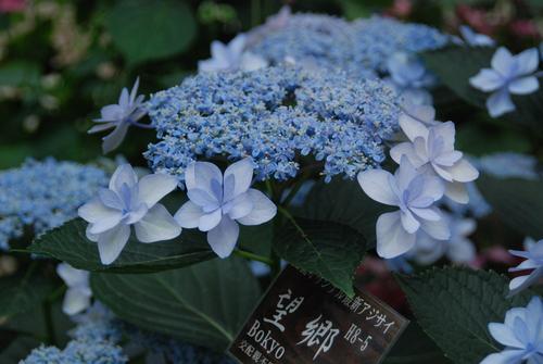 うるわし 紫陽花♪_e0240147_21503763.jpg