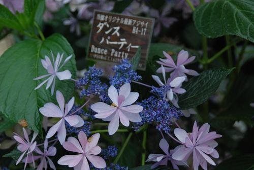 うるわし 紫陽花♪_e0240147_21505261.jpg