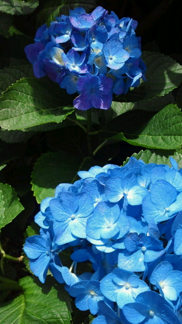 紫陽花みたいなかき氷_b0195849_18594766.jpg