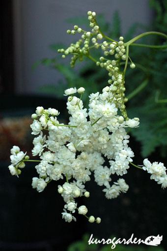 白い花_e0119151_1644143.jpg
