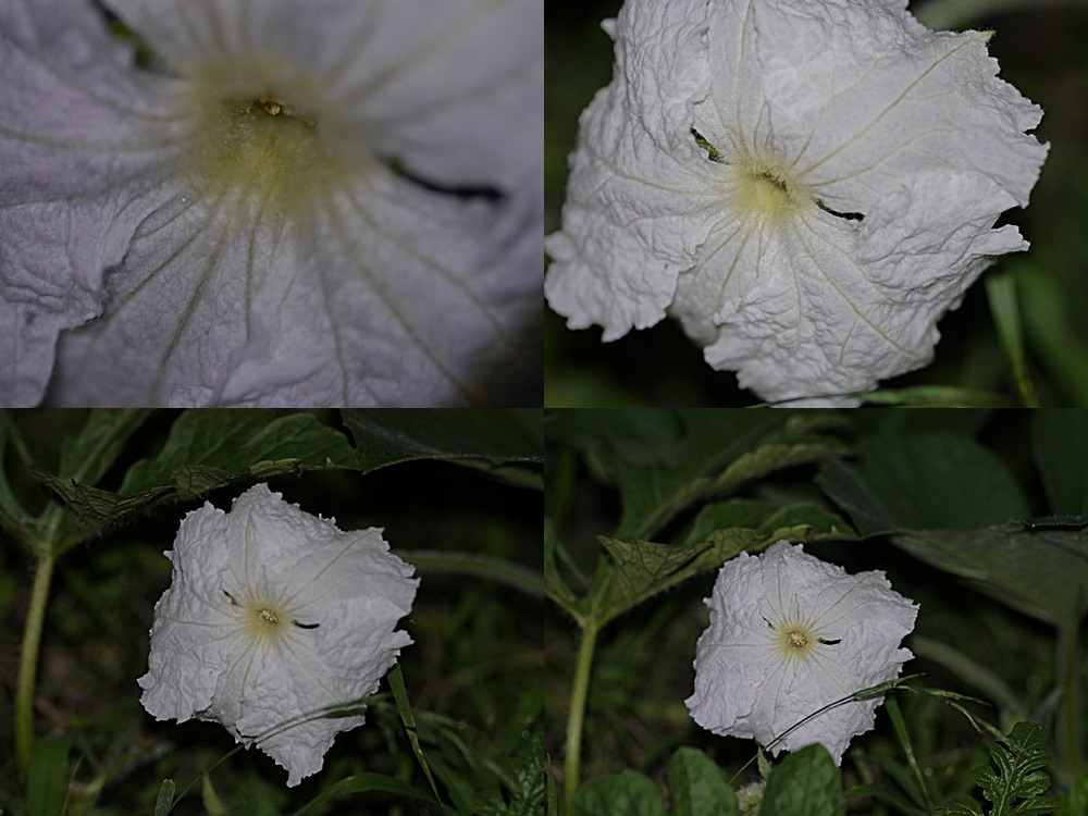 脇役のはずの夕顔の花、家庭菜園だからこそかな?_b0175688_216030.jpg