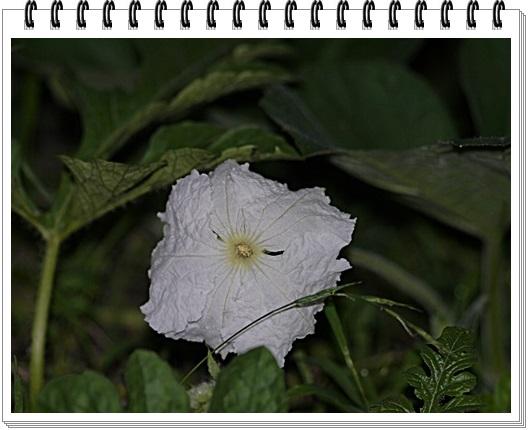 脇役のはずの夕顔の花、家庭菜園だからこそかな?_b0175688_216333.jpg