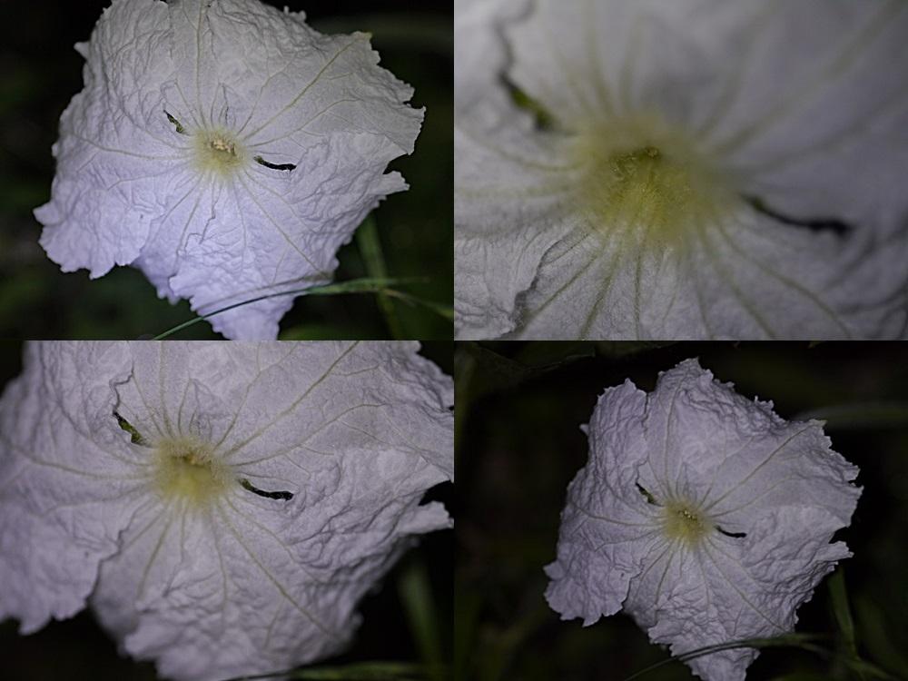 脇役のはずの夕顔の花、家庭菜園だからこそかな?_b0175688_21693.jpg