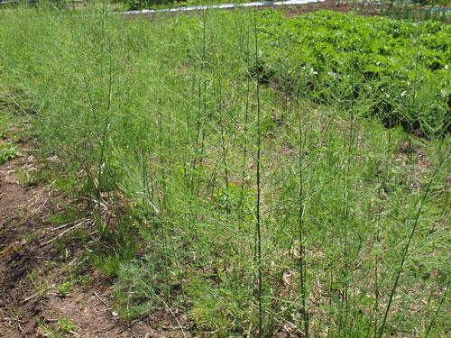 初夏の畑_f0236291_11332529.jpg