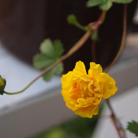 ポットの宿根草のお花も咲きだしました_a0292194_2393888.jpg