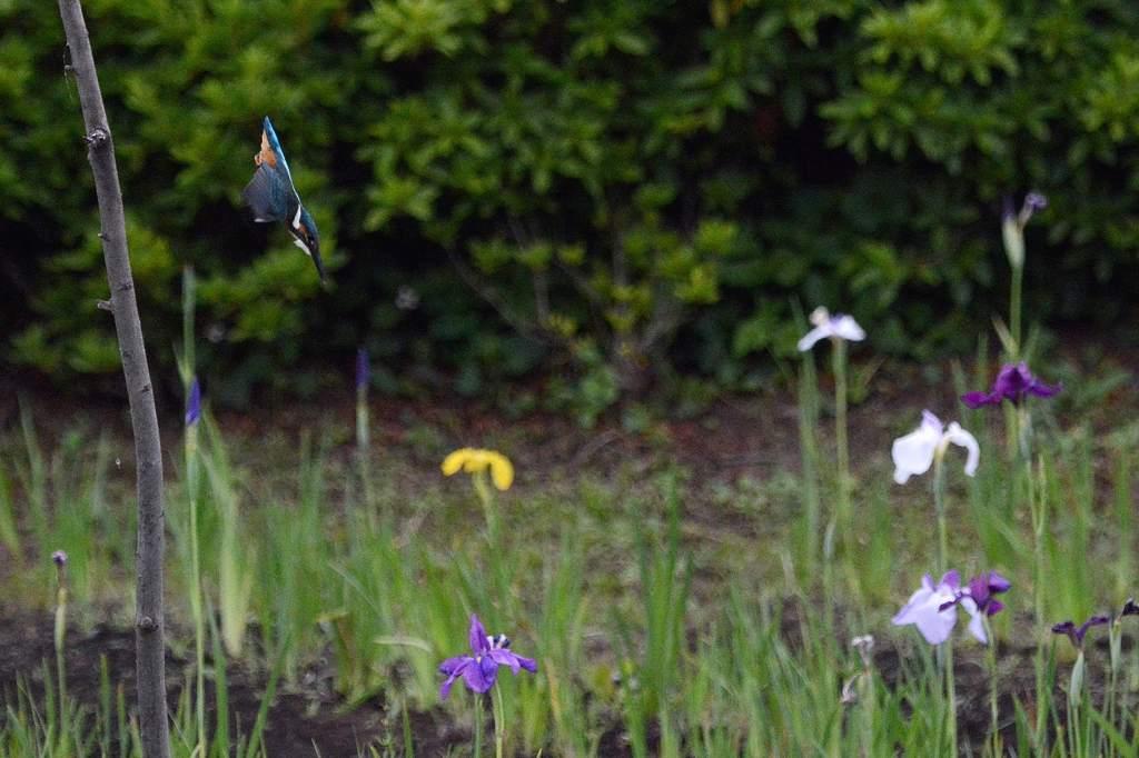 カワセミ幼鳥のダイビング/アマサギ/サボテンの花/ネジバナ_b0024798_10585480.jpg