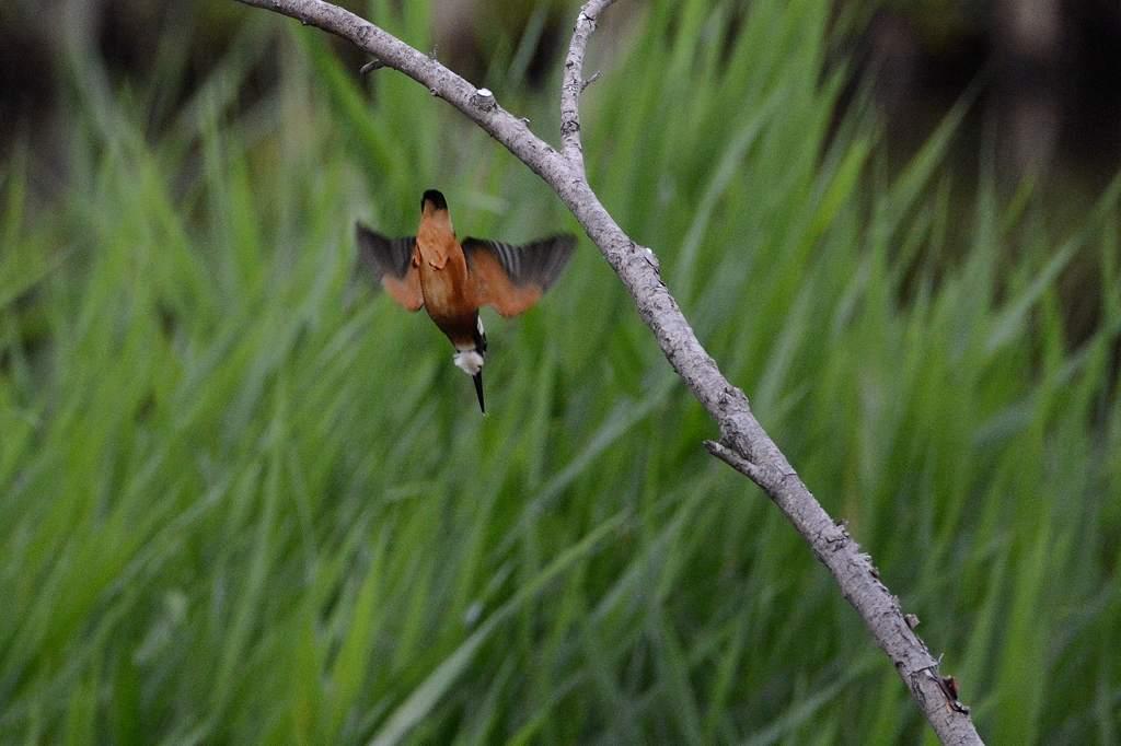 カワセミ幼鳥のダイビング/アマサギ/サボテンの花/ネジバナ_b0024798_1059269.jpg