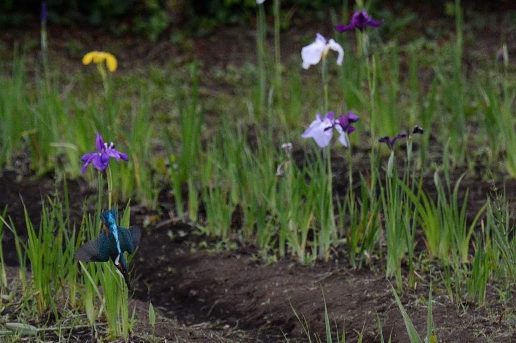 カワセミ幼鳥のダイビング/アマサギ/サボテンの花/ネジバナ_b0024798_1059592.jpg