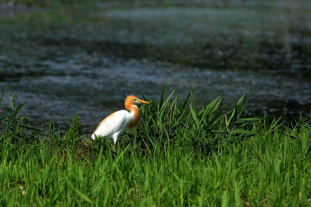 カワセミ幼鳥のダイビング/アマサギ/サボテンの花/ネジバナ_b0024798_110052.jpg