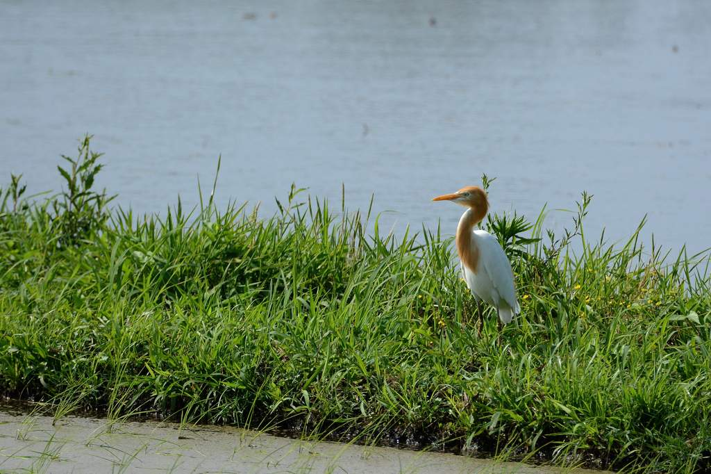 カワセミ幼鳥のダイビング/アマサギ/サボテンの花/ネジバナ_b0024798_1101642.jpg