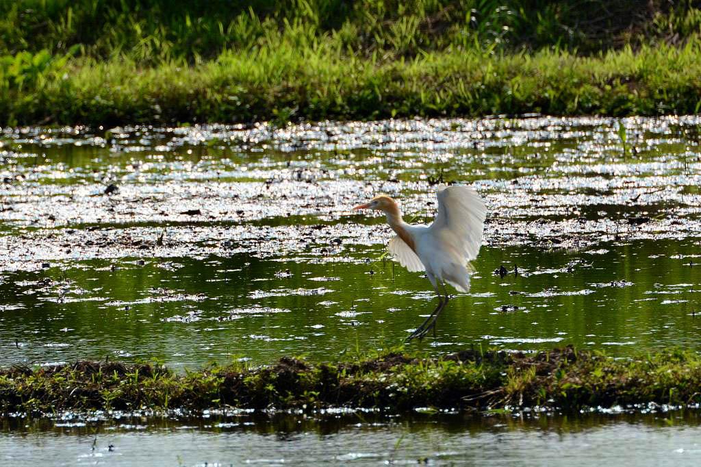 カワセミ幼鳥のダイビング/アマサギ/サボテンの花/ネジバナ_b0024798_110305.jpg
