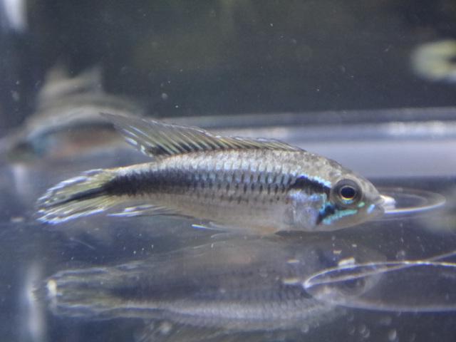 130613 熱帯魚・水草・金魚_f0189122_13142789.jpg