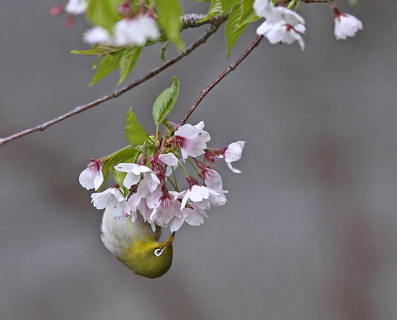 桜絡みで「マヒワ・メジロ」さん♪_d0195897_11422879.jpg