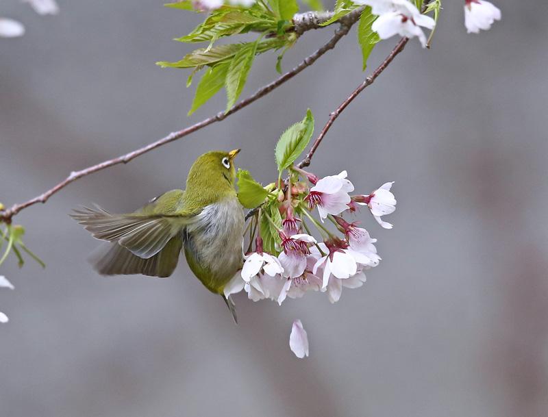 桜絡みで「マヒワ・メジロ」さん♪_d0195897_11424199.jpg