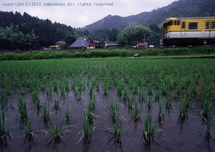 雨降りの水田で_d0309612_2148158.jpg