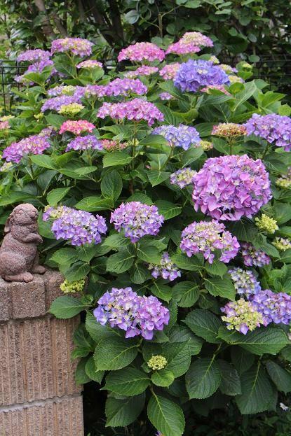 梅雨の季節 紫陽花&花菖蒲_d0150720_552313.jpg
