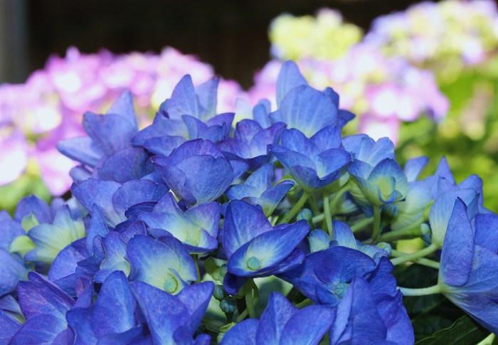 梅雨の季節 紫陽花&花菖蒲_d0150720_5523779.jpg