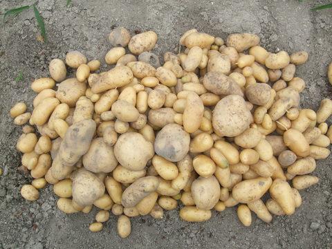 我が家の畑38 ガジャイモ収穫しました~♪_d0191262_8203765.jpg