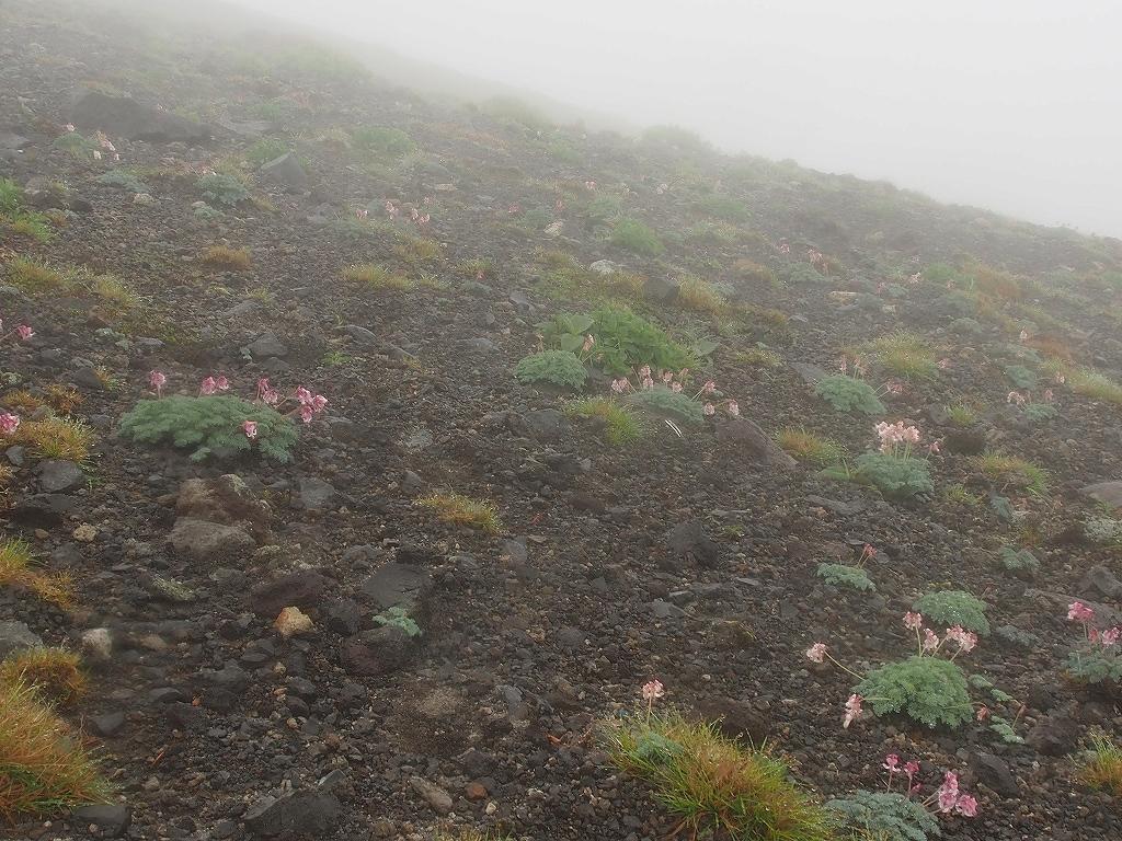 6月13日、樽前山のエゾイソツツジとコマクサ_f0138096_157459.jpg