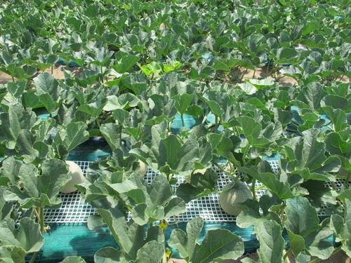 庄内砂丘メロン農園を訪ねる(3)_c0075701_1601323.jpg