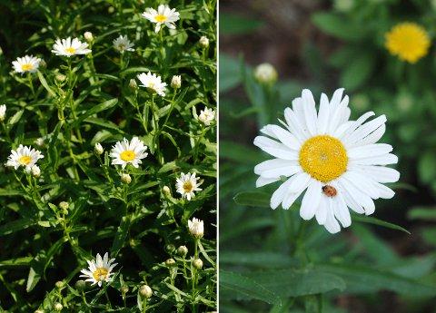 花壇と菜園の花たち(6月中旬)_b0253205_14183697.jpg