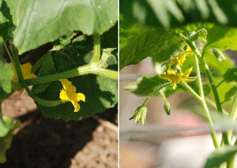 花壇と菜園の花たち(6月中旬)_b0253205_14271039.jpg