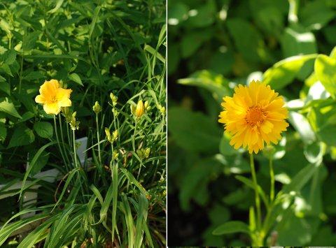 花壇と菜園の花たち(6月中旬)_b0253205_14402385.jpg