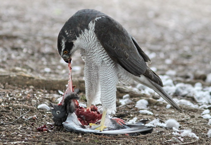 カレンダー 2011年カレンダー : オオタカの捕食 : 野鳥中心の ...
