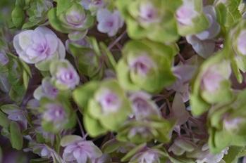 はちもの紫陽花(あじさい)イロイロ_f0226293_963227.jpg
