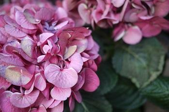はちもの紫陽花(あじさい)イロイロ_f0226293_965251.jpg