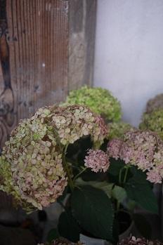 はちもの紫陽花(あじさい)イロイロ_f0226293_972895.jpg