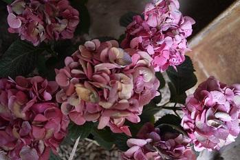 はちもの紫陽花(あじさい)イロイロ_f0226293_97332.jpg