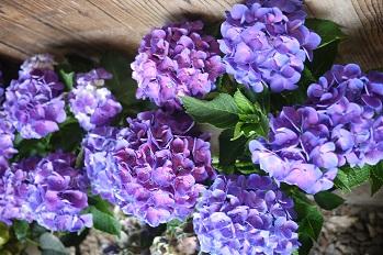 はちもの紫陽花(あじさい)イロイロ_f0226293_985568.jpg