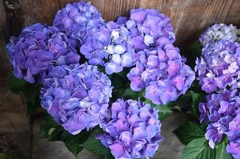 はちもの紫陽花(あじさい)イロイロ_f0226293_9973.jpg