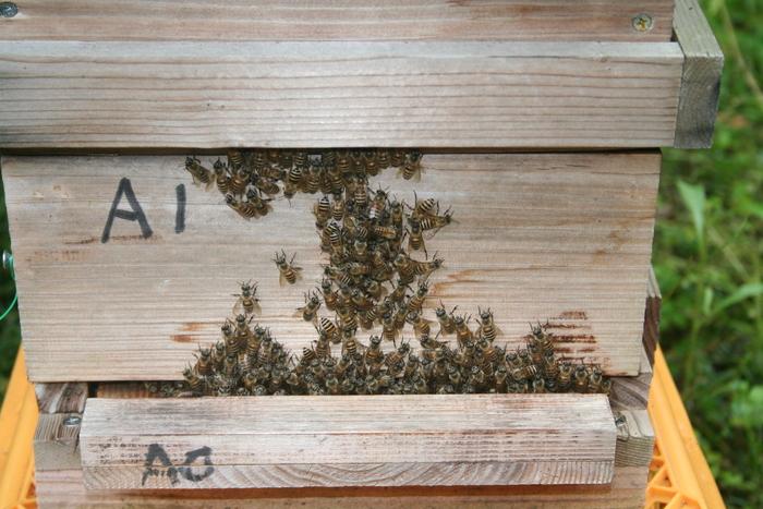 日本蜜蜂_a0265606_9425611.jpg