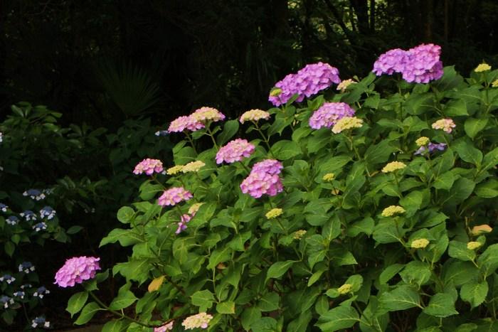 紫陽花の季節_d0150720_6205314.jpg