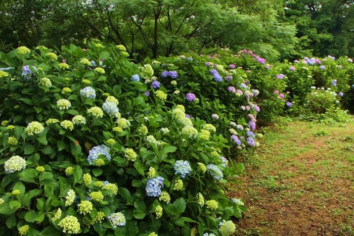紫陽花の季節_d0150720_620696.jpg