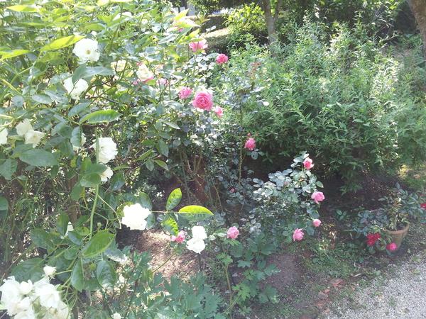 バラが咲きました!_f0244543_19263347.jpg