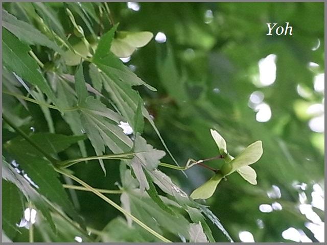 もみじの種は竹とんぼ_f0172744_11491442.jpg