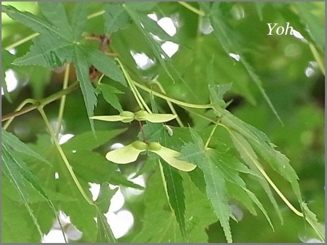 もみじの種は竹とんぼ_f0172744_1149520.jpg