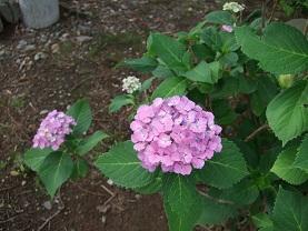 紫陽花とコーヒー_d0237446_14163245.jpg