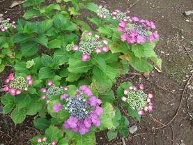紫陽花とコーヒー_d0237446_1417329.jpg