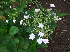 紫陽花とコーヒー_d0237446_14174397.jpg