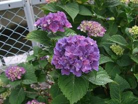 紫陽花とコーヒー_d0237446_14194364.jpg