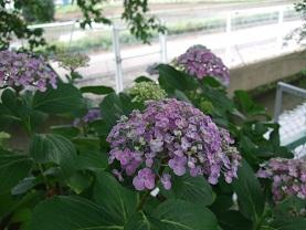 紫陽花とコーヒー_d0237446_14201471.jpg