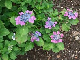 紫陽花とコーヒー_d0237446_14204876.jpg